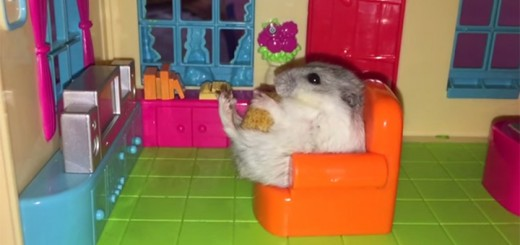 hamster in apartment